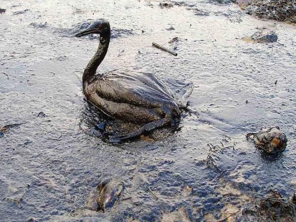 Umweltverschmutzung durch Erdöl in der Straße von Kertsch ölverschmierter Vogel